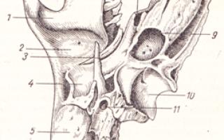 Сосцевидный отросток височной кости: что это?