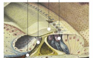 Мышца, напрягающая барабанную перепонку: анатомия