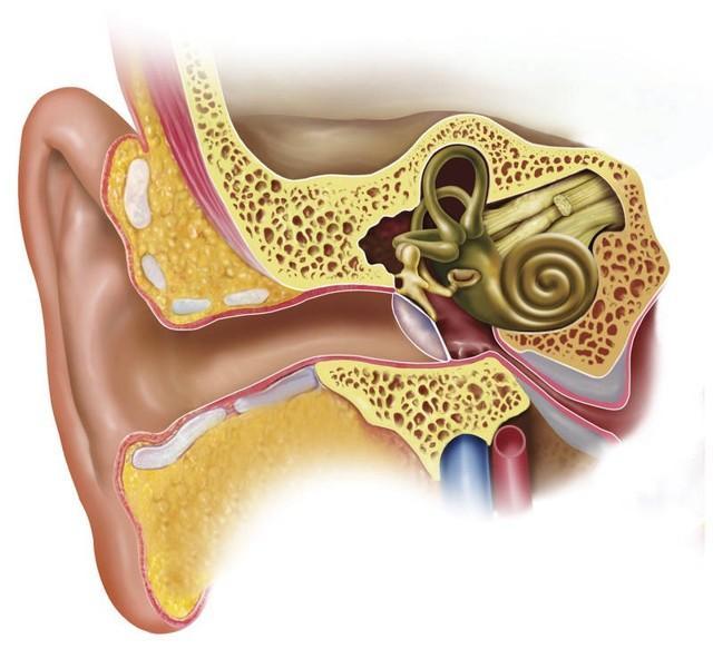Наружное ухо: строение и функции