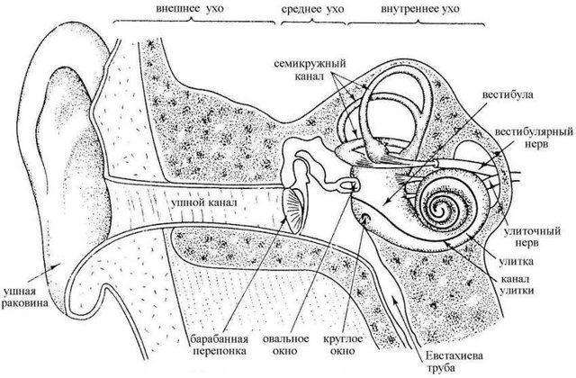 Строение ушной раковины человека