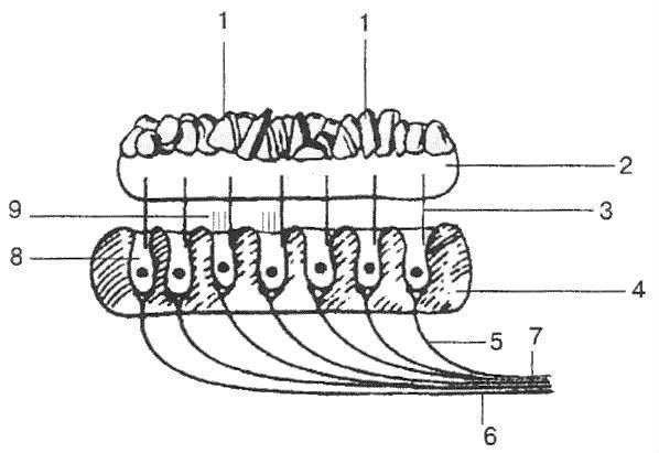Вестибулярный аппарат: как устроен и где находится