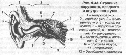 Слуховая сенсорная система человека: физиология
