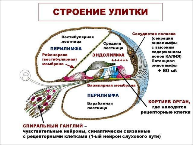 Полукружные каналы: строение и функции