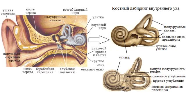 Внутреннее ухо: строение и функции