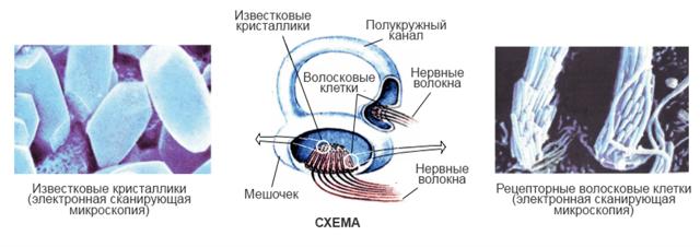 Слуховой анализатор: строение и функции